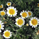 Crown Daisies