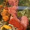 Unknown Pink Tunicates
