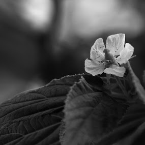 WHITE FLOWER by Frans Priyo - Nature Up Close Leaves & Grasses ( nature, black and white, art, close up, flower )