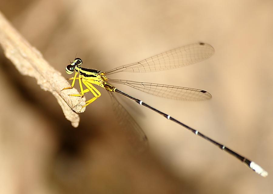 Yellow - bursh dart