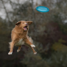 Focus by Ruud Lauritsen - Animals - Dogs Playing ( flying dogs, ruud lauritsen photograpy, frisbeedogs, dogs in action, dog )