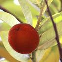 Velvet Apple