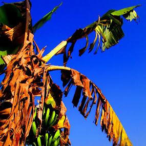 Banana trees on the edge of the village by Jumari Haryadi - Nature Up Close Gardens & Produce ( field, banana, village, nature, garden )
