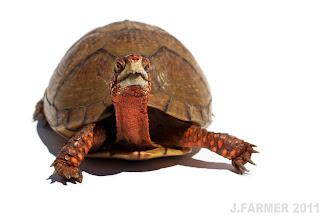 Photo: Three-Toed Box Turtle