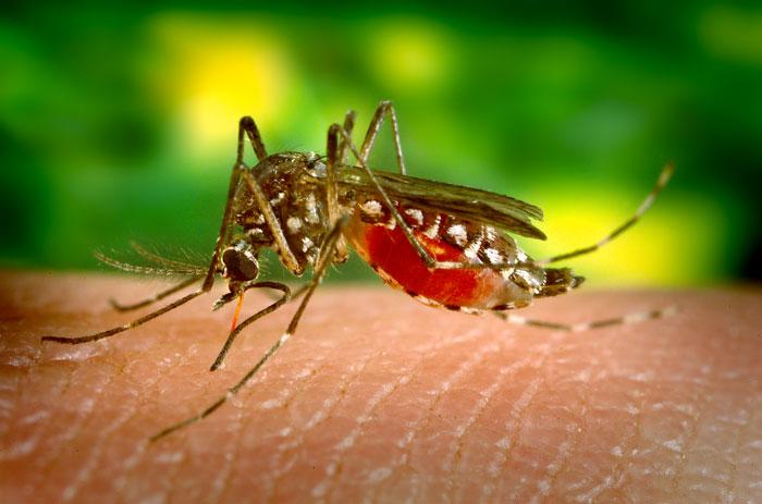 Mosquito Aedes aegypti, transmissor da febre amarela. (Fonte: Wikimedia Commons)