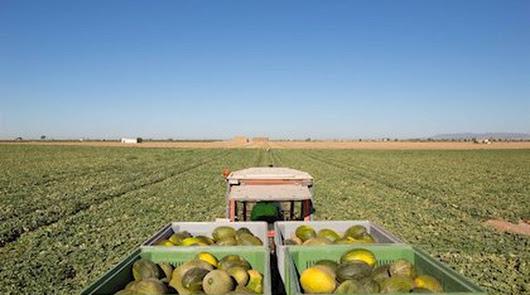Mercadona apuesta por el producto de Almería: comprará 72.000 toneladas de melón