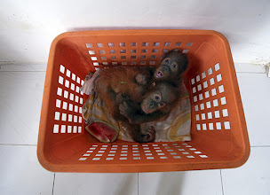 Photo: Orphaned baby orangutans Septian and Seroja play inside a basket at the SOCP facility  Photograph: Binsar Bakkara/AP