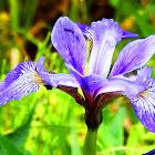 Blue Flag Iris (Wildflower)