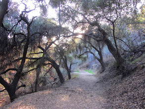 Photo: I love the majestic oaks along this section of Colby Trail.
