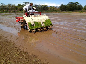 Photo: SRI Rice Transplanting, Liberia, Guanacaste, Costa Rica, Photo courtesy of Didier Alberto Moreira Mendoza, July 2013