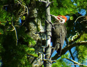Photo: Adult male Pileated Woodpecker off Skyliners Drive, west of Bend, OR