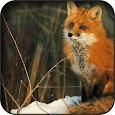 Fox wallpapers apk