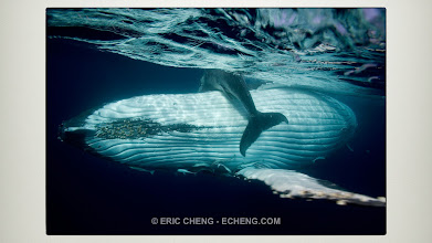 Photo: Humpback whale holding her calf up to breathe. Good shot, but a standard framing.