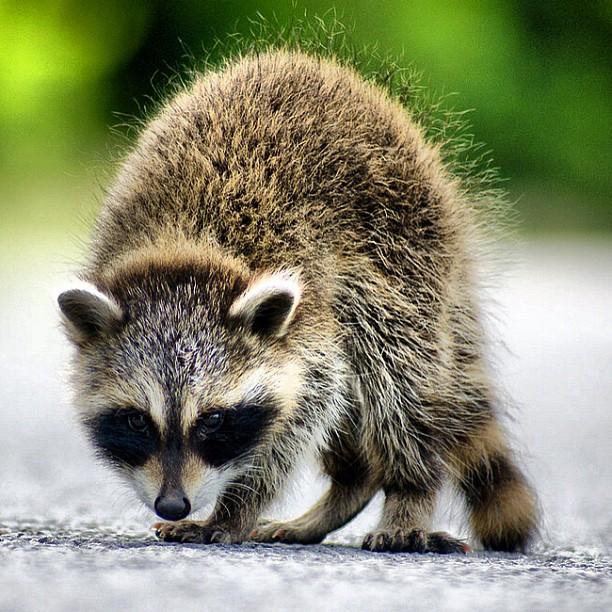 Baby Raccoon by Geary LeBell - Animals Other Mammals ( racoon, procyonlotor, babyraccoon, coon, critter, pec, pwcmovinganimals, mask, bandit, raccoon, prince edward county, baby, young, animal )