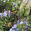 Western Giant Swallowtail Butterfly