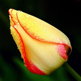 Tulipe by Gérard CHATENET - Flowers Single Flower