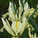 Grant-duff's iris