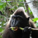 Celebes crested macaque (crested black macaque)