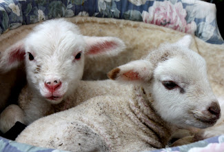 Photo: Year 2 Day 140 - One Day Old Lambs at Yileena