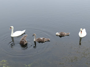 Photo: 22 Jul 13 Priorslee Lake: The progress of the Swan family at the lake: all growing well and feeding for themselves. (Ed Wilson)