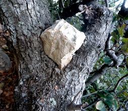 Photo: Pavé de calcaire pur serti dans un tronc de chène.
