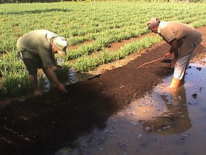 Photo: Luis Romero and a farmhand preparing a seedbed using fermented cow manure. (Photo taken by Rena Perez 6/04)