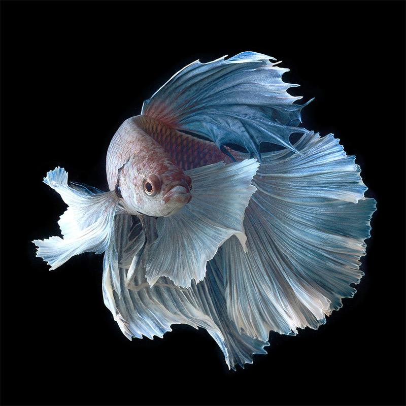 Betta fish hd android apps on google play for What fish are compatible with betta fish