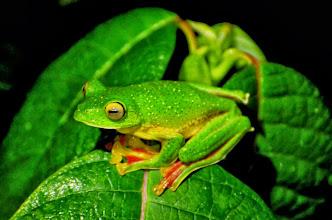 Photo: Malabar Gliding Frog