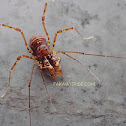 unknown Harvestman species