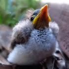 Noisy Miner chick (fallen nestling)