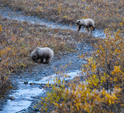 Photo: Two young bears in Denali National Park.  By Keira Burrows