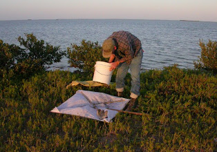 Photo: Sifting shore line detritus at sunset.  Note the Mangroves in the background.