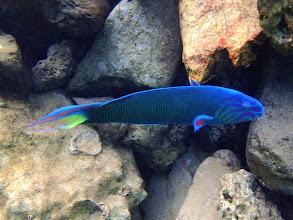 Photo: Thalassoma lunare (Lunare Wrasse), Miniloc Island Resort Reef, Palawan, Philippines.
