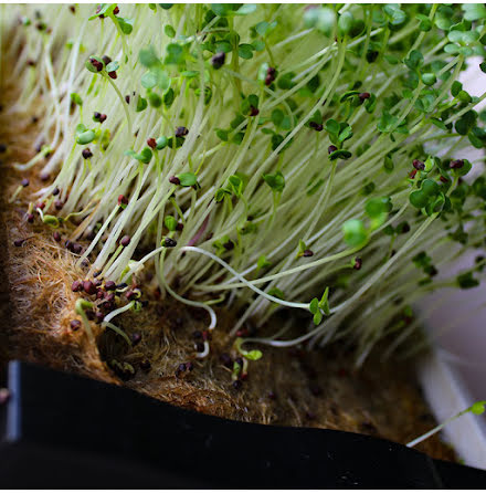 "Microgreens - Broccoli ""Raab"""