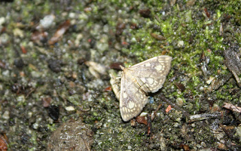 Photo: Anania  (Phlyctaenia)  stachydalis  Lepidoptera > Crambidae