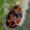 flower chafer beetle