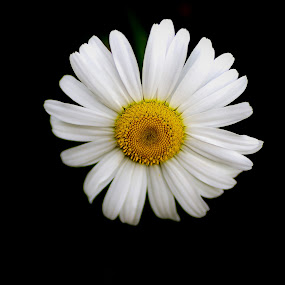 Daisy by Jozette Spacht - Nature Up Close Flowers - 2011-2013