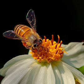 Worker bee on the job. by Francois Wolfaardt - Uncategorized All Uncategorized ( contrast, pollen, nature, worker bee, petals, wings, nectar, white, insect, flower, honey )