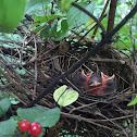 Cardinal Chicks