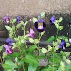 Bluewings / Wishbone Flower