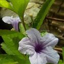 Britton's Wild Petunia Flower