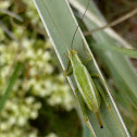 Common Tree Cricket