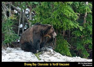Photo: Dos grizzly bears jugueteando en la poca nieve que quedaba.