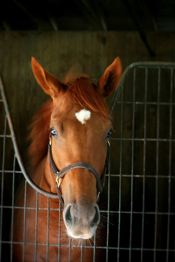 Two year old Thoroughbred by Cathy Harper - Animals Horses ( race horses, roan, horse stables, barn, horses, racing, horse, horse racing, barns, stables, stable, racetrack )