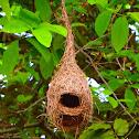 Baya Weavers' Nests
