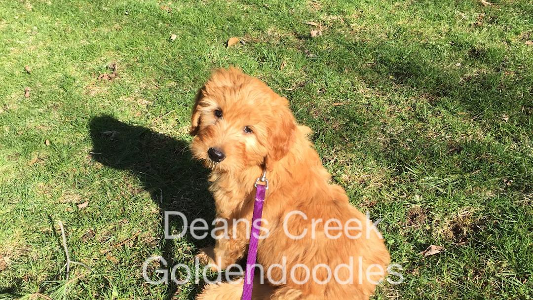 Deans Creek Doodles - Goldendoodle puppies - Utica Rome