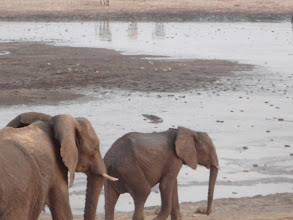 Photo: That is a crocodile in the water right above the elephant.