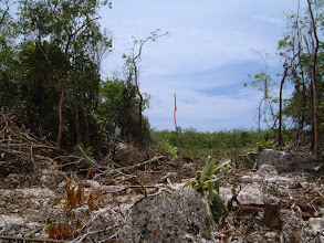 Photo: 2003 Survey trail from Outpost Road, Windsor Park stopped at the swamp. Liguinea Circle is to the left.  Fallen endemic Hohenbergia caymanensis (Old George) in centre, May 25, 2003