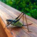 Bush Cricket Eupholidoptera chabrieri
