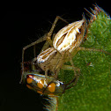 Lynx spider with prey.